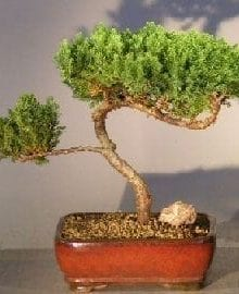 Juniper Bonsai Tree For Sale #9 - Trained (juniper procumbens nana)