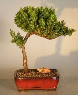 Juniper Bonsai Tree For Sale #10 - Trained (juniper procumbens nana)
