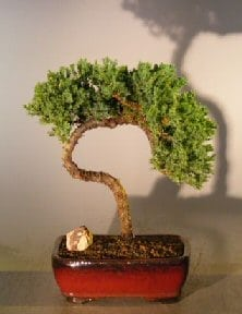 Juniper Bonsai Tree For Sale #27 - Trained (juniper procumbens nana)