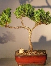 Juniper Bonsai Tree For Sale #11 - Trained (juniper procumbens nana)