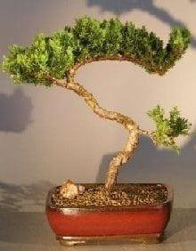 Juniper Bonsai Tree For Sale #12 - Trained (juniper procumbens nana)