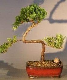 Juniper Bonsai Tree For Sale #13 - Trained (juniper procumbens nana)