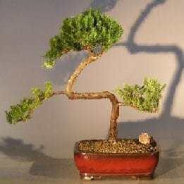 Juniper Bonsai Tree For Sale #13 - Trained (juniper procumbens nana)