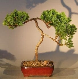 Juniper Bonsai Tree For Sale #35 - Trained (juniper procumbens nana)