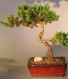 Juniper Bonsai Tree For Sale #14 - Trained (juniper procumbens nana)