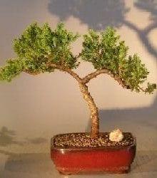 Juniper Bonsai Tree For Sale #15 - Trained (juniper procumbens nana)