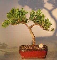 Juniper Bonsai Tree For Sale #15 - Trained (juniper procumbens nana)