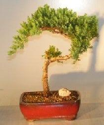Juniper Bonsai Tree For Sale #16 - Trained (juniper procumbens nana)