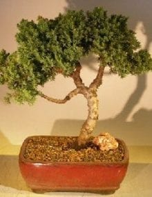 Juniper Bonsai Tree For Sale #39 - Trained (juniper procumbens nana)