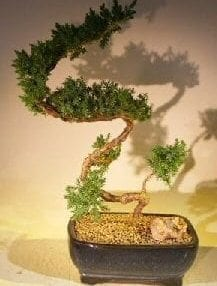 Juniper Bonsai Tree For Sale #53 - Trained (juniper procumbens nana)