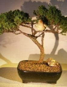 Juniper Bonsai Tree For Sale - Trained with Bird (juniper procumbens nana)