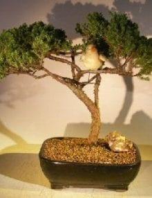 Juniper Bonsai Tree For Sale - Trained with Bird (juniper procumbens nana)