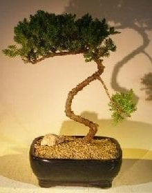 Juniper Bonsai Tree For Sale #54 - Trained (juniper procumbens nana)