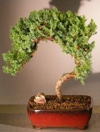 Juniper Bonsai Tree For Sale #31 - Trained (juniper procumbens nana)