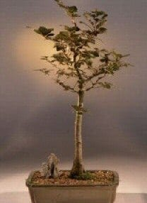 Copper Beech Bonsai Tree For Sale (fagus sylvatica 'purpurea')