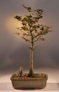 Copper Beech Bonsai Tree For Sale (fagus sylvatica 'purpurea')