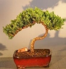 Juniper Bonsai Tree For Sale #20 - Trained (juniper procumbens nana)