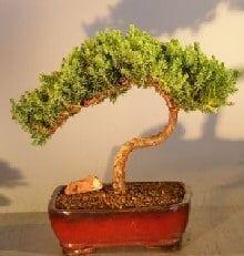 Juniper Bonsai Tree For Sale #20 - Trained (juniper procumbens nana)