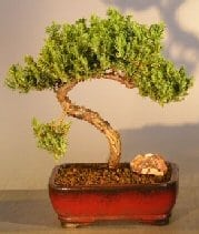 Juniper Bonsai Tree For Sale #21 - Trained (juniper procumbens nana)
