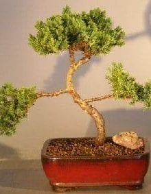 Juniper Bonsai Tree For Sale #22 - Trained (juniper procumbens nana)