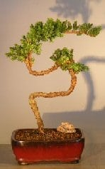 Juniper Bonsai Tree For Sale #24 - Trained (juniper procumbens nana)