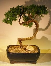 Juniper Bonsai Tree For Sale #55 - Trained (juniper procumbens nana)