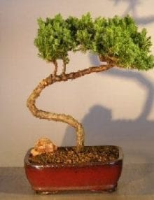 Juniper Bonsai Tree For Sale #25 - Trained (juniper procumbens nana)