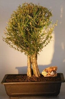 Flowering Tropical Boxwood Bonsai Tree For Sale (neea buxifolia)
