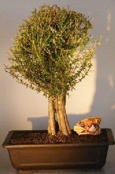 Flowering Tropical Boxwood Bonsai Tree For Sale (neea buxifolia)