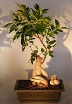 ginseng ficus bonsai tree for sale 2 ficus retusa. Black Bedroom Furniture Sets. Home Design Ideas