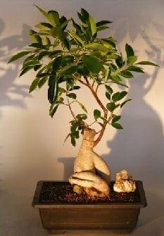 Ginseng Ficus Bonsai Tree For Sale #2 (Ficus Retusa)