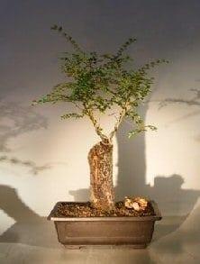 Cork Bark Elm Bonsai Tree For Sale Ulmus Neri Bonsai Tree Gardener