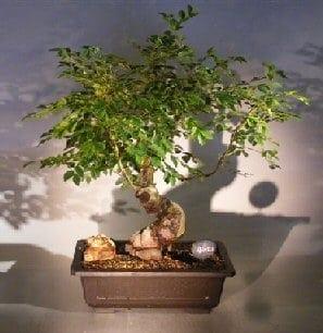 Dwarf Chinese Elm Bonsai Tree For Sale Variegated (ulmus parvifolia) yatsubusa