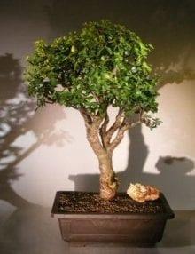Baby Jade Bonsai Tree For Sale #5 (Portulacaria Afra)