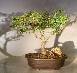 Flowering Premna Bonsai Tree For Sale (premna obtusifolia)