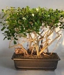 Flowering Tropical Dwarf Apple Bonsai Tree For Sale Banyan Style (clusia rosea 'nana')