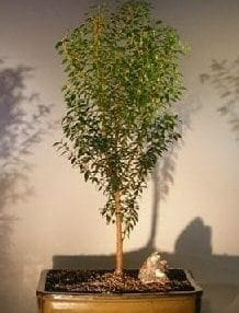 Flowering Myrtle Bonsai Tree For Sale Upright Style #1 (myrtus communis 'compacta')