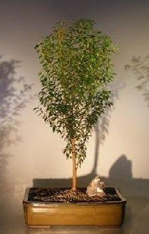 Flowering Myrtle Bonsai Tree For Sale Upright Style #1 (myrtus communis 'compacta')
