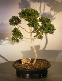 Brush Cherry (Pom-Pom) Style Bonsai Tree For Sale #1 (eugenia myrtifolia)