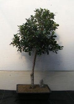 Green Emerald Ficus Bonsai Tree For Sale #2 (ficus microcarpa)