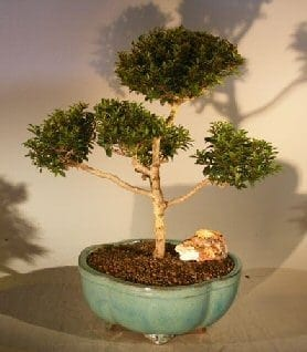 Brush Cherry (Pom-Pom) Style Bonsai Tree For Sale #2 (eugenia myrtifolia)