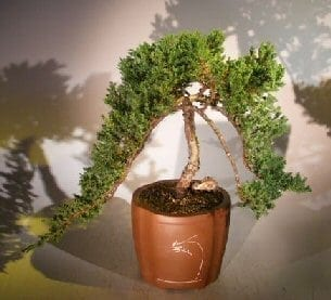 Weeping Juniper Bonsai Tree For Sale (juniper procumbens nana)