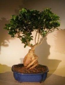 Ginseng Ficus Bonsai Tree For Sale #1 (Ficus Retusa)