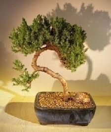 Juniper Bonsai Tree For Sale #41 - Trained (juniper procumbens nana)