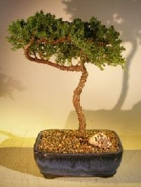 Juniper Bonsai Tree For Sale #42 - Trained (juniper procumbens nana)
