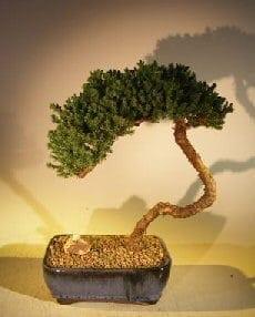 Juniper Bonsai Tree For Sale #43 - Trained (juniper procumbens nana)