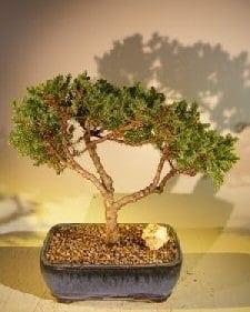Juniper Bonsai Tree For Sale #44 - Trained (juniper procumbens nana)