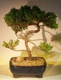 Juniper Bonsai Tree For Sale #51 - Trained (juniper procumbens nana)