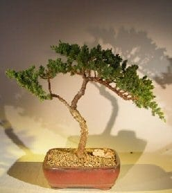 Juniper Bonsai Tree For Sale #45 - Trained (juniper procumbens nana)