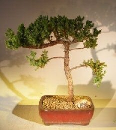 Juniper Bonsai Tree For Sale #46 - Trained (juniper procumbens nana)